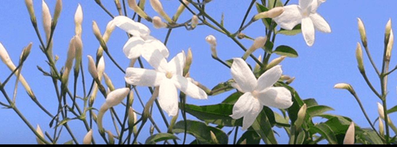 Sicilian Jasmine